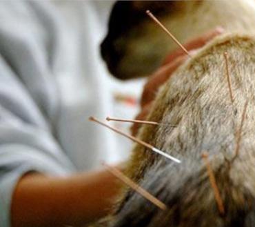 acupuntura_centro_veterinario_13_de_diciembre
